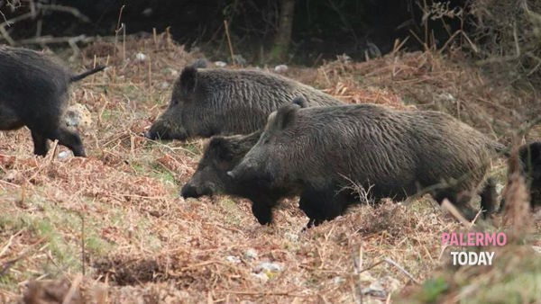 """""""Wild boars with rolls, so we will avoid letting them in"""" thumbnail"""