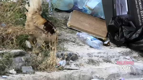 Medaglie d'Oro, il gallo canta (e banchetta) tra i rifiuti | VIDEO