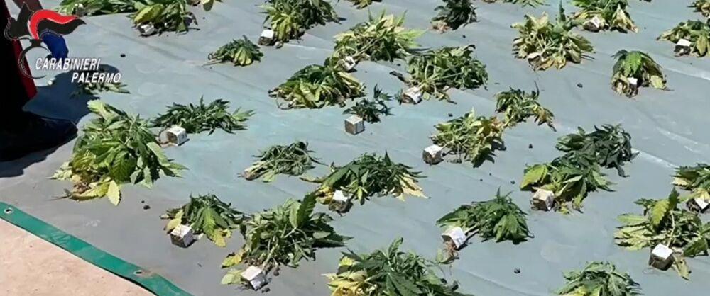Villagrazia, coltivava cannabis nel seminterrato di una ...
