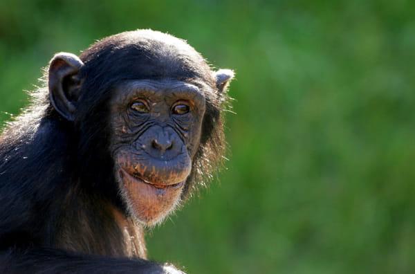 Scimpanzè-2